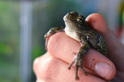 The gray tree frog, native to Illinois, is affect by the challenges amphibians are facing today.  Photo by Kaitlyn Conrad