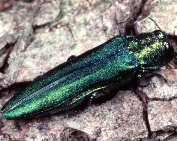 The emerald ash borer is a destructive pest that is destroying ash trees throughout the eastern U.S. and has decimated the ash trees so much that there is a federal quarantine zone to inhibit EAB from spreading. Photo courtesy of the National Park Service